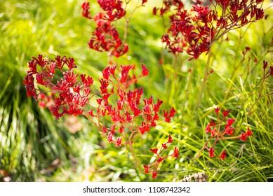 Wild Flowers Palo Alto California - Kangaroo Paw, Anigozanthos