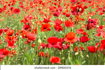 wild flowers and poppies in a field