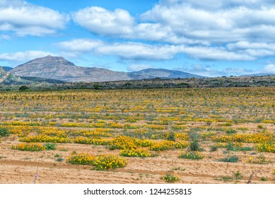 Wild flowers in a rooibos tea field near Clanwilliam in the Western Cape Province