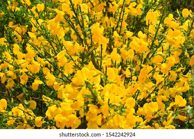 Wild flowers, scotch broom, growing along the coast of the Pacific Northwest, Washington State.