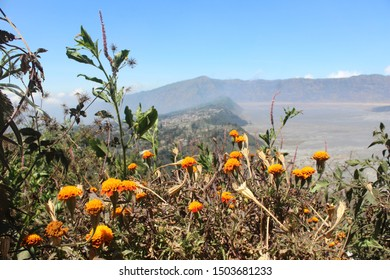 Wild Flowers at Seruni Point in Bromo Tengger Semeru National Park, East Java, Indonesia