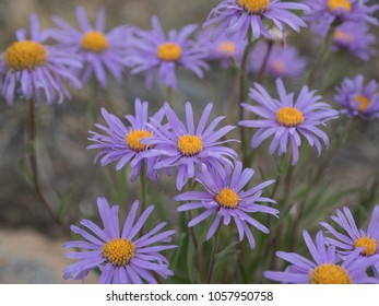 Wild flowers of Siberia, Russia. Aster alpinus
