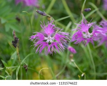 Wild flowers of Siberia, Russia. Dianthus superbus (fringed pink or large pink)