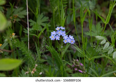 Wild flowers of Siberia, Russia.  Myosotis sylvatica, the wood forget-me-not.