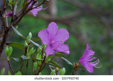 Wild flowers of Siberia, Russia. Rhododendron dauricum