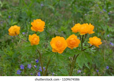 Wild flowers of Siberia, Russia. Trollius asiaticus (Asian globeflower)