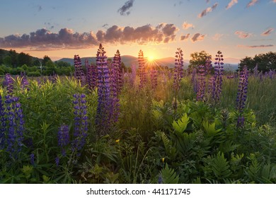 wild flowers at sunrise at the lupine festival in New Hampshire