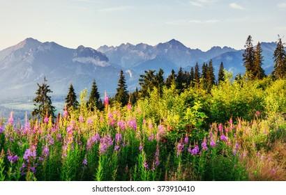 Wild flowers at sunset in the mountains. Poland. Zakopane.
