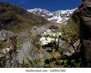 Wild Flowers, Upper Otira Valley, New Zealand