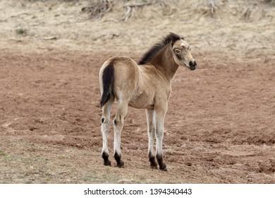Wild foal horse in Wyoming