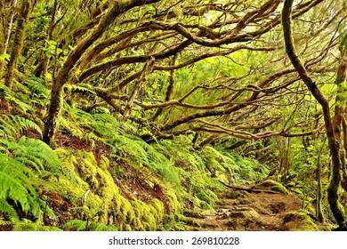 Wild forest in Anaga mountains, Tenerife