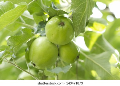 Wild forest apples in a tree