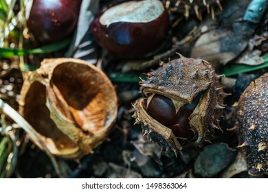 Wild Forest Chestnuts with Shell and Thorns Autumn Harvest