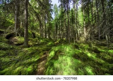 Wild forest in Finland.