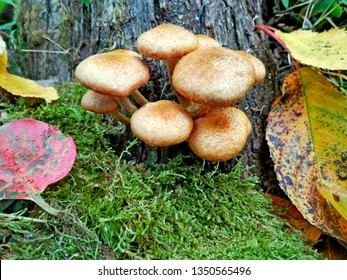 Wild forest honey agaric fungus mushrooms on tree & green moss, leaf background. Armillaria mellea honey agaric gel hallimasch fungus mushrooms. Food edible mushroom armillaria or honey agaric fungus