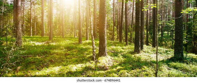 Wild forest panorama. Ecology summer beautiful background