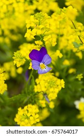 wild forest purple pansy among yellow summer flowers