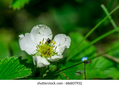 Wild forest strawberry flower