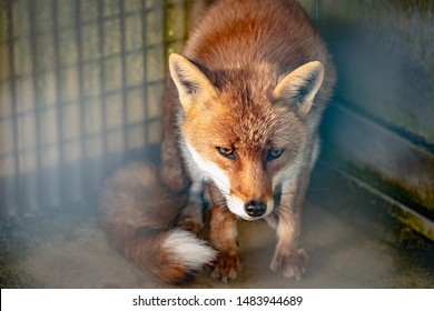 Wild fox in the cage
