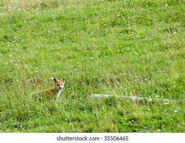 wild fox in a field of wildflowers and grasses