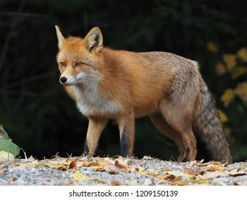 wild fox (Vulpes vulpes)