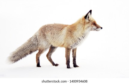 Wild fox in winter natural habitat
