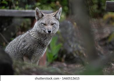 Wild fox (Zorro Chilla) at Vicente Perez Rosales National Park, Chile