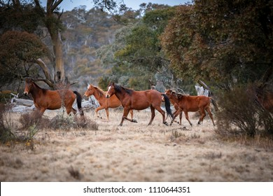 Wild and Free Brumby Horses in the Australian High Country. Australian Bush scenes pre-snow season.