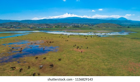 Wild and free horses herd top view aerial overhead drone photo in front of Erciyes Mountain Kayseri Turkey. This horses are Turkish wild free Yilki Horses.