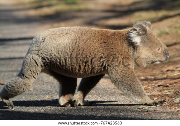 wild and free koala walking over street