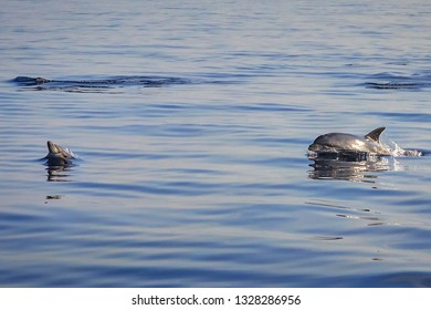 Wild free mommy and baby dolphins playing and jumping
