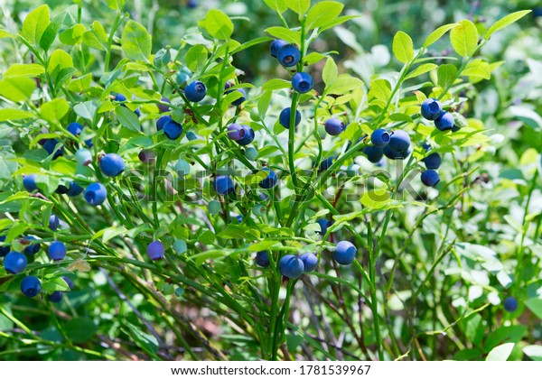 Wild fresh organic blueberry bush in forest.  Blueberry plant growing naturally. Huckleberry,  (North West Russia.)