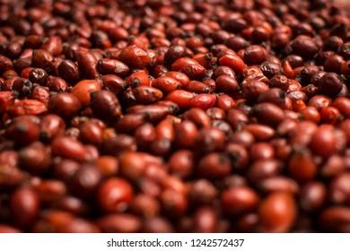 Wild fruit of rosehip. Healthy tea ingredient.