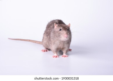 A wild furry rat sniffs something in the air with interest lifting its whiskers