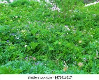 Wild garden of alpine wildflowers under Crna prst in Julian alps Slovenia incl. blue flowering  wood crane's bill (Geranium sylvaticum) and large white buttercup (Ranunculus platanifolius) - Shutterstock ID 1478416517
