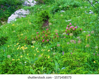Wild garden under Crna Prst in Triglav national park and Julian alps with pink blooming hairy alpenrose (Rhododendron hirsutum) and kidney vetch, woundwort (Anthyllis vulneraria) - Shutterstock ID 1571458573