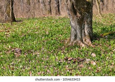 Wild garlic. Allium ursinum.