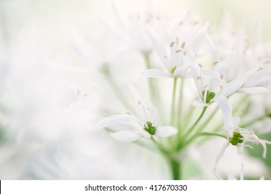 Wild garlic (Allium ursinum) in bloom