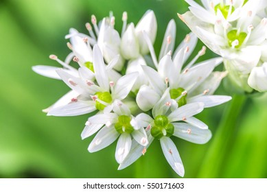 Wild Garlic (Allium ursinum) blossom at spring