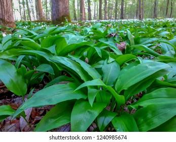 Wild garlic (Allium ursinum) in the forest, close up.