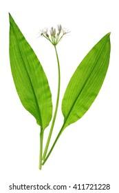 Wild garlic (Allium ursinum) isolated against white background
