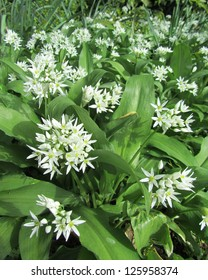 Wild Garlic, Allium ursinum, (Ransoms), flowering in the spring, growing in a natural woodland setting.