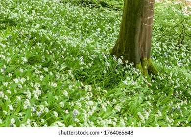 wild garlic blooms in a forest setting suitable for background and room for text