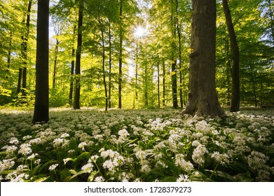 wild garlic field in a beech forest
