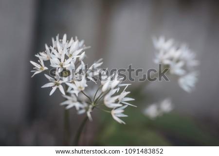 Wild Garlic Flowers Growing Uk Garden Stock Photo Edit Now
