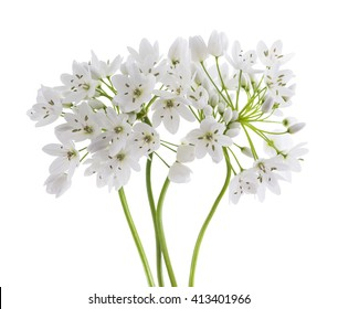 wild garlic flowers isolated on white background