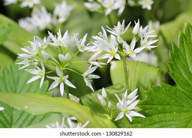 wild garlic flowers at springtime, edible culinary herb