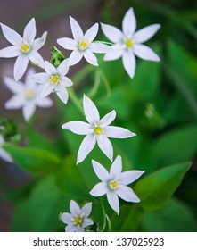 wild garlic flowers at springtime, edible culinary herb