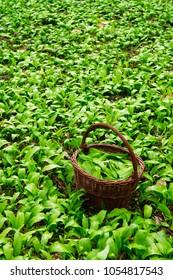 wild garlic harvesting basket on ramson field