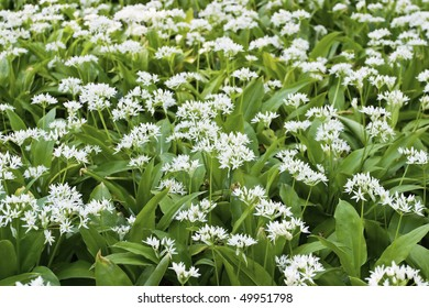 Wild garlic at the meadow